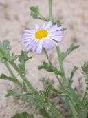 Leucosyris arida