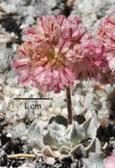 Eriogonum ovalifolium var. vineum