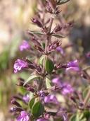 Hedeoma nana ssp. californica