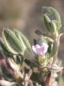 Tiquilia canescens var. canescens