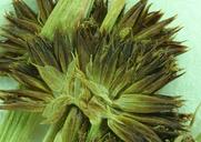 Juncus ensifolius