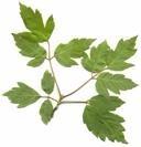 Acer negundo ssp. californica