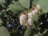 Arctostaphylos manzanita ssp. manzanita