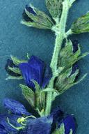 Psorothamnus arborescens var. minutifolius