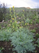 Ehrendorferia chrysantha