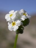 Cryptantha utahensis