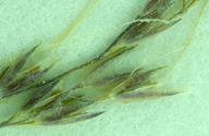 Agrostis elliottiana