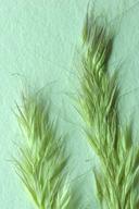 Agrostis hendersonii