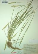 Agrostis microphylla
