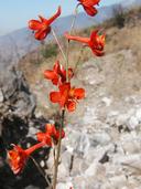 Delphinium cardinale