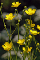 Ranunculus acris ssp. acris