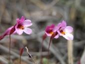 Mimulus purpureus