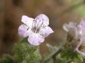 Phacelia cicutaria var. hispida