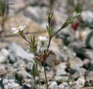 Leptosiphon pygmaeus