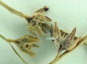 Plagiobothrys austiniae