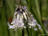 Trifolium bolanderi