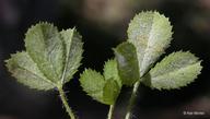 Trifolium monanthum ssp. parvum