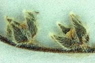Plagiobothrys collinus var. californicus