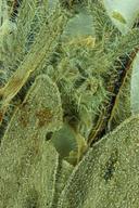 Plagiobothrys kingii var. harknessii