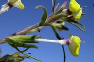 Triphysaria eriantha ssp. eriantha