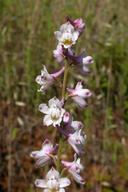 Delphinium hansenii