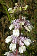 Collinsia tinctoria