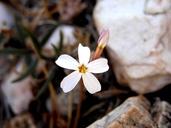 Phlox dolichantha