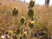 Pyrrocoma uniflora var. gossypina