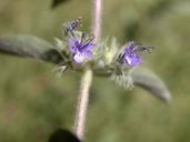 Trichostema austromontanum ssp. austromontanum