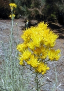 Chrysothamnus nauseosus ssp. albicaulis