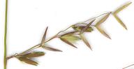 Ehrharta calycina