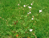 Sidalcea hickmanii