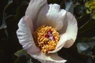Paeonia mascula ssp. russii