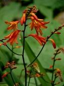 Crocosmia Xcrocosmiiflora
