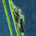 Eleocharis bernardina