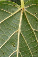 Tilia platyphyllos