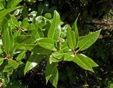 Quercus parvula var. shrevei