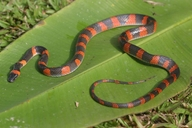 "Adult coloration. Note the difference in coloration with the other photo of mine showing a juvenile.<br /><strong>Location:</strong> DOR, just south of Jaco, Costa Rica (Costa Rica)<br /><strong>Author:</strong> <a href=""http://calphotos.berkeley.edu/cgi/photographer_query?where-name_full=Shawn+Mallan&one=T"">Shawn Mallan</a>"