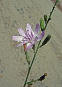 Stephanomeria virgata ssp. virgata