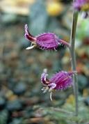 Streptanthus glandulosus ssp. pulchellus