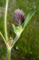 Trifolium dichotomum