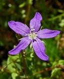 Triodanis biflora