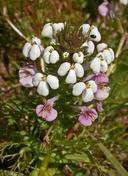 Triphysaria versicolor