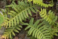 Polypodium australe