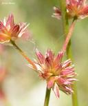 Juncus nevadensis