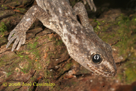 Darwin's Marked Gecko