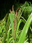 Carex amplifolia