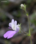 Collinsia linearis