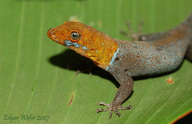 Red Head Gecko