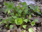 Claytonia perfoliata ssp. perfoliata